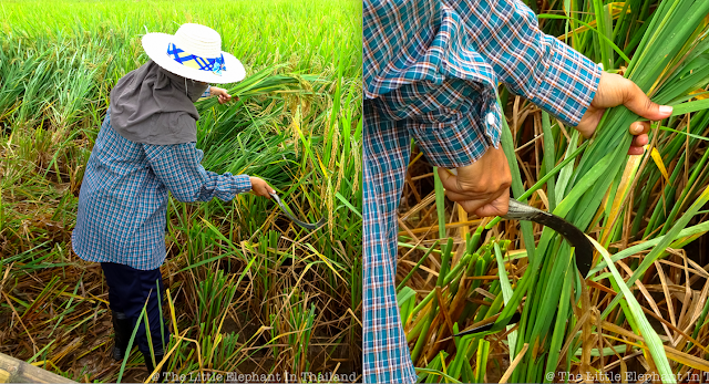 Rice harvesting our rice-field in Nan - Thailand