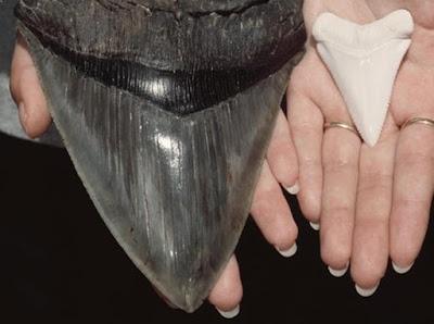 Ternyata Ini Penyebab Predator Raksasa Laut Megalodon Punah