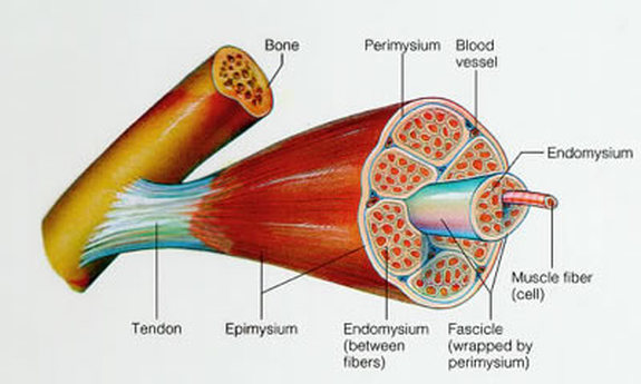 medical study a-z: definition and structure of skeletal muscle, Cephalic Vein