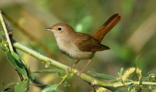 Gambar Burung Flamboyan Jantan Dan Betina - Gambar Burung