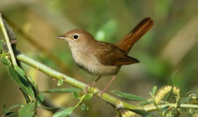 7 Ciri Ciri Burung Sikatan Londo Paling Akurat Dari Segi Fisik Dan Suara