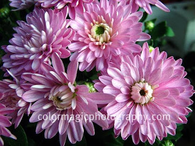 Pink-purple chrysanthemums-close up