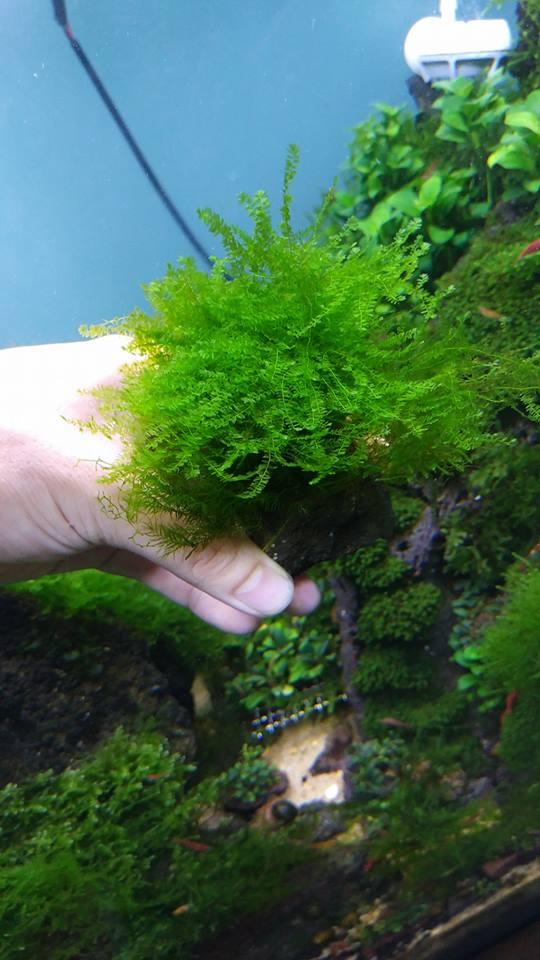Vẻ đẹp của rêu thủy sinh Cameroon