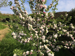 Apple Blossom, LOPR