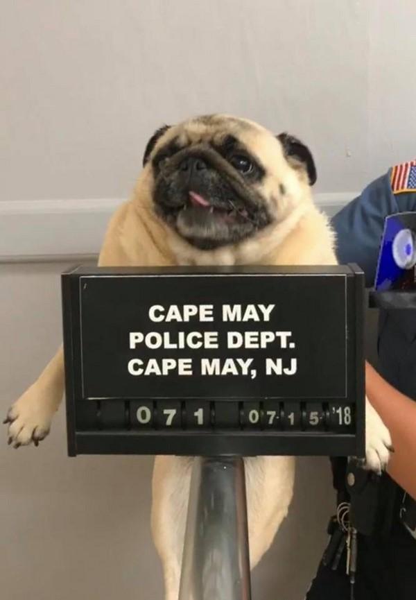 """Bỏ nhà đi lang thang, chú chó pug bị cảnh sát bắt về đồn chụp ảnh """"nghi phạm"""" gây sốt MXH Mỹ"""