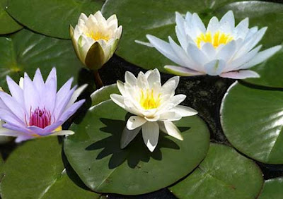 water lily flower, water lily
