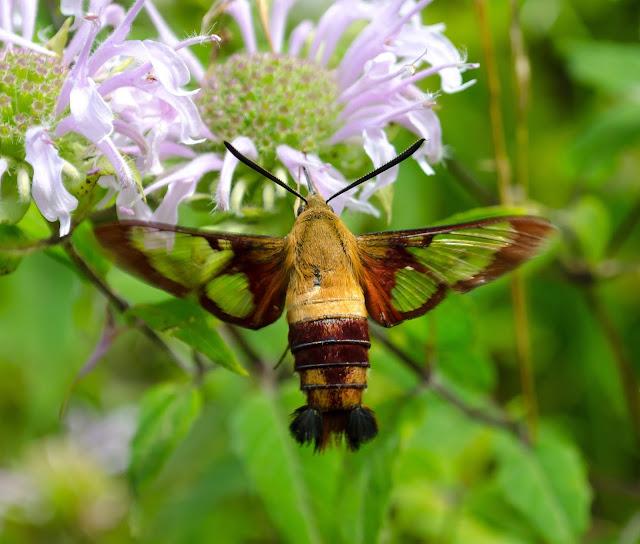 Hummingbird Clearwing Ohio