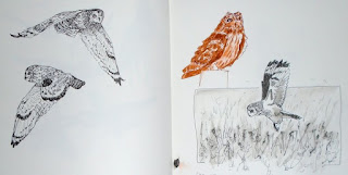Short-eared owl ink sketches from photos