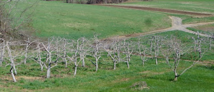 Bare apple trees