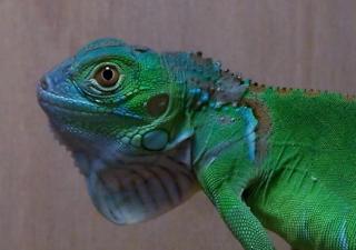 diamond blue iguana