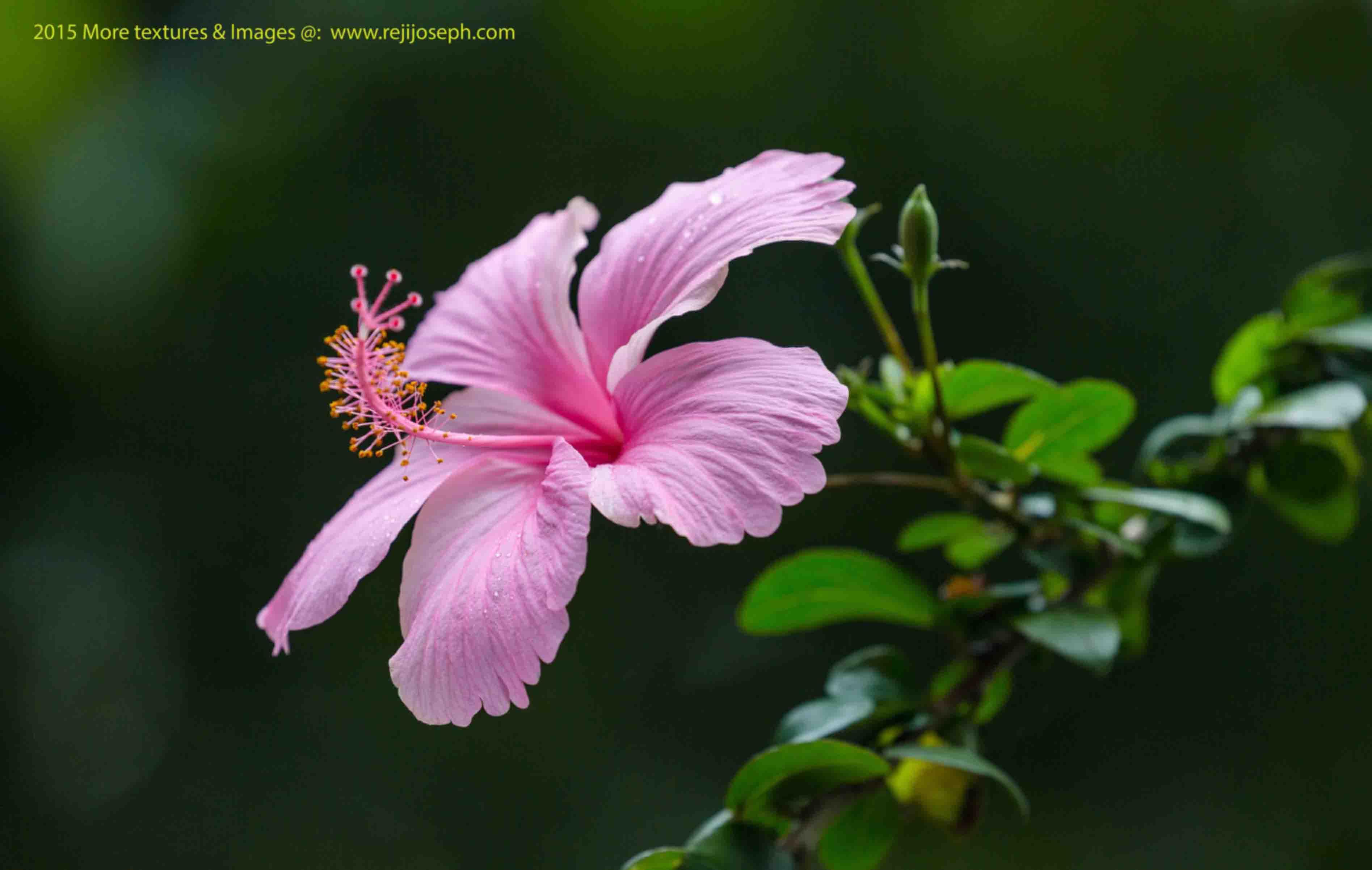 Hibiscus flower pink 00001