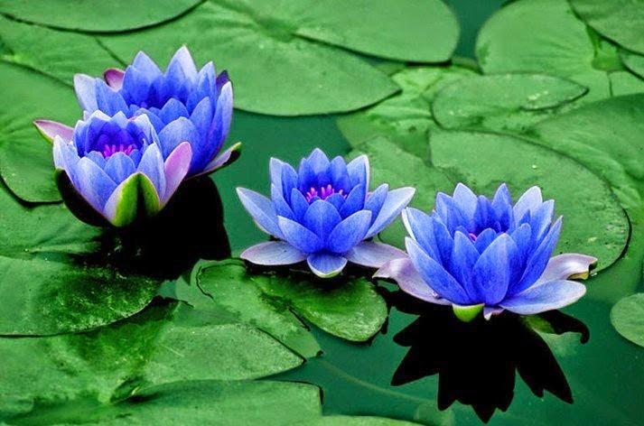 Visión del loto azul y el lago