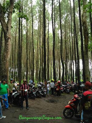 Pinus Songgon.