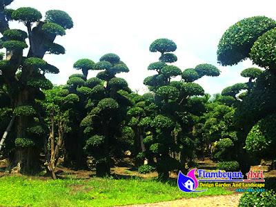 Jual Pohon Bonsai Serut Harga Murah
