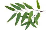 Aceite puro de eucalipto
