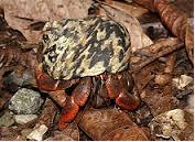 Kepiting Hermit Hewan Peliharaan Omivora Untuk Terarium bernapas