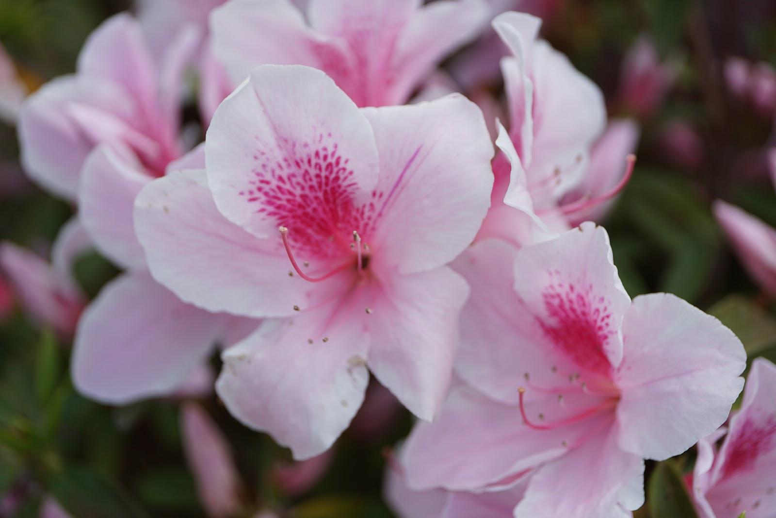 平戸躑躅のピンクの大きな花