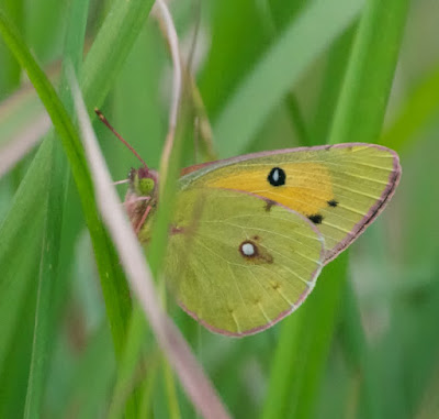 Dark Clouded Yellow (Colias fieldii chinensis)