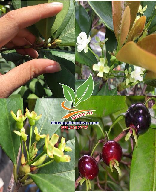 Cherry đang có hoa - Trái tại vườn Tphcm