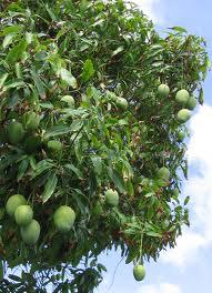 Klasifikasi dan ciri umum tanaman mangga yang bisa anda kenali