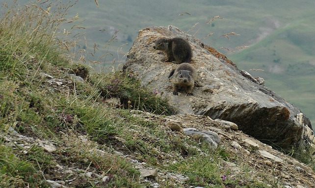 Baby-marmots
