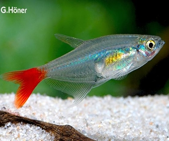Glass bloodfin Tetra, Prionobrama Filigera (Cope, 1870)