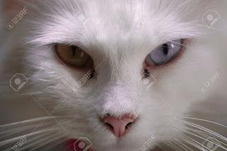 bentuk mata dan hidung kucin anggora