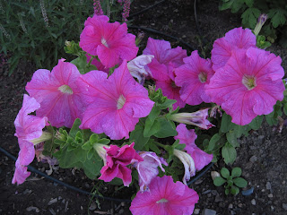 Large deep pink flowers.