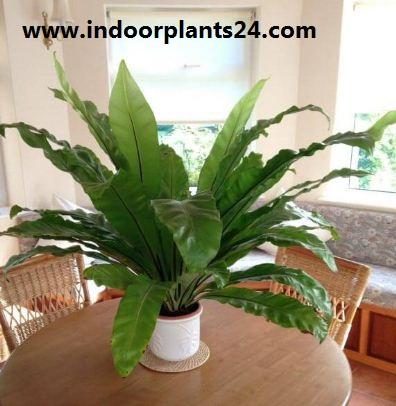 Asplenium nidus Aspleniaceae  indoor plant image