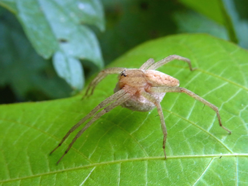 yamasanae: イオウイロハシリグモ 硫黄色走蜘蛛