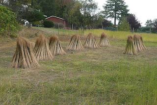 flax stooks Victoria flax to linen harvest