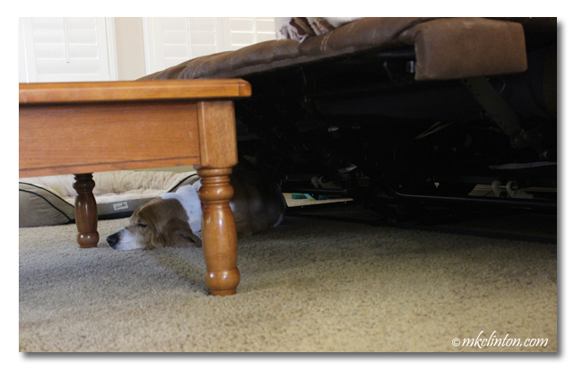 Basset sleeping UNDER recliner