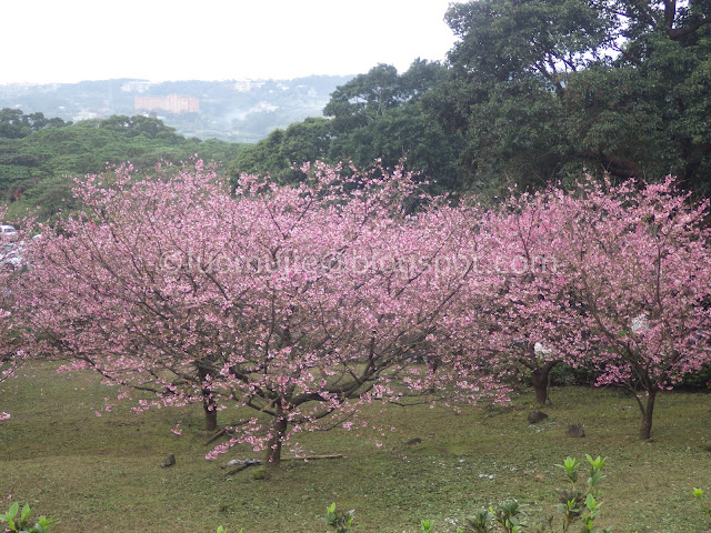 Tianyuan Temple cherry blossom