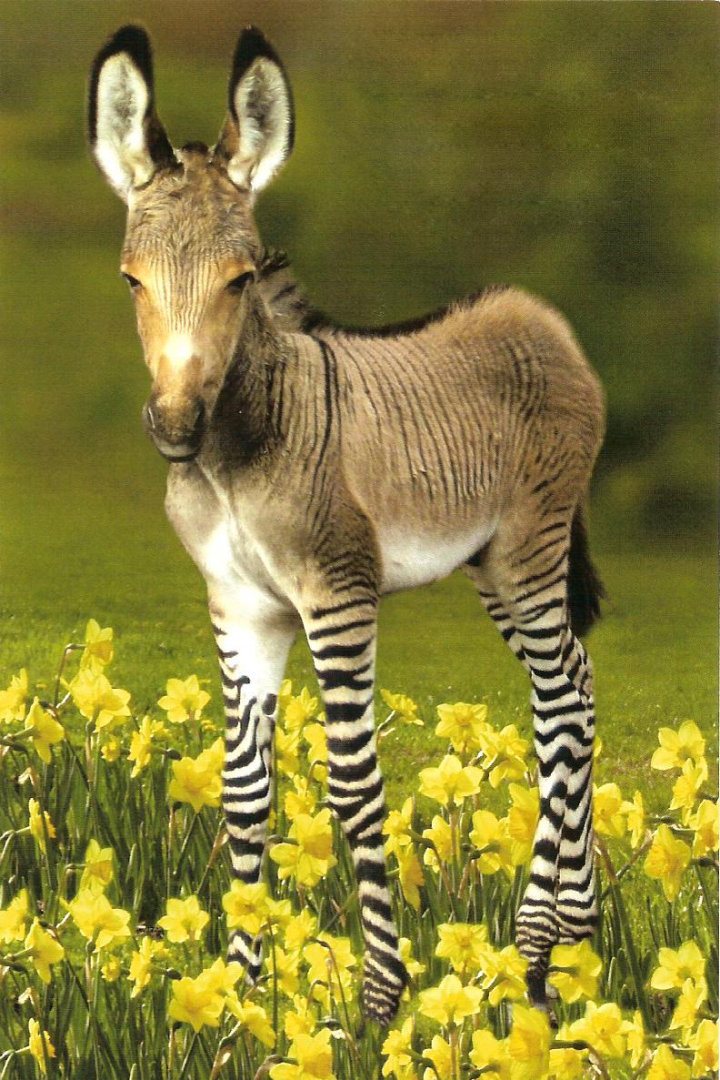 Cute And Funny Zonkey