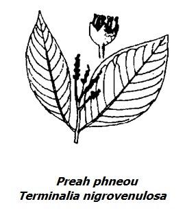 Hình vẽ Preah Phneou - Terminalia nigrovenulosa - Nguyên liệu làm thuốc Chữa Đi Lỏng-Đau Bụng