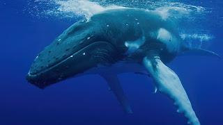 Πτεροφάλαινα: Ο αγαθός γίγαντας των ελληνικών θαλασσών...