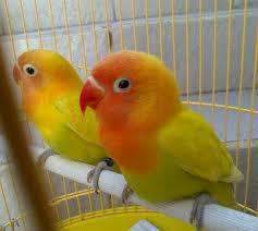 lovebird pastel kuning, lovebird paskun