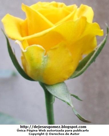 Foto de rosa amarilla de Jesus Gómez