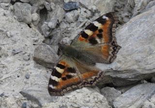 Aglais caschmirensis, Himalayan Tortoiseshell