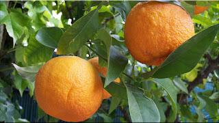 gambar buah jeruk pahit