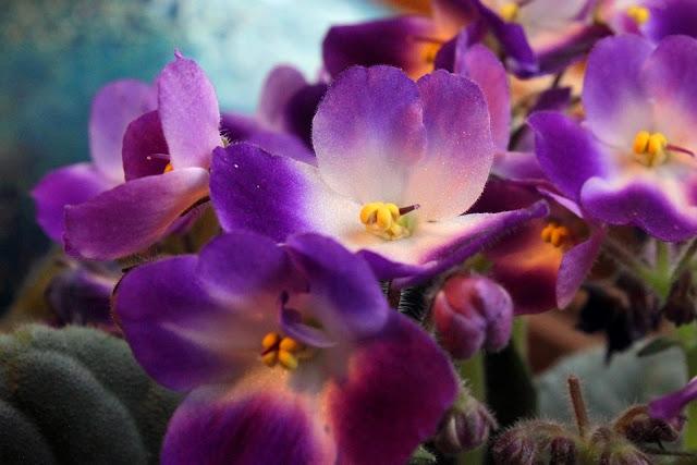 Violeta de Parma, Saintpaulia sau Violeta africană