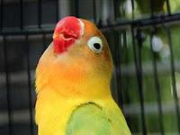 Lovebird Kusumo: Rahasia Cara Perawatan