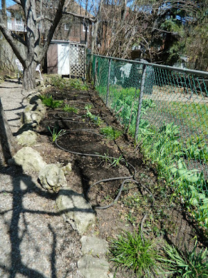 A Toronto Gardening Company Paul Jung Gardening Services Parkdale Spring Cleanup After
