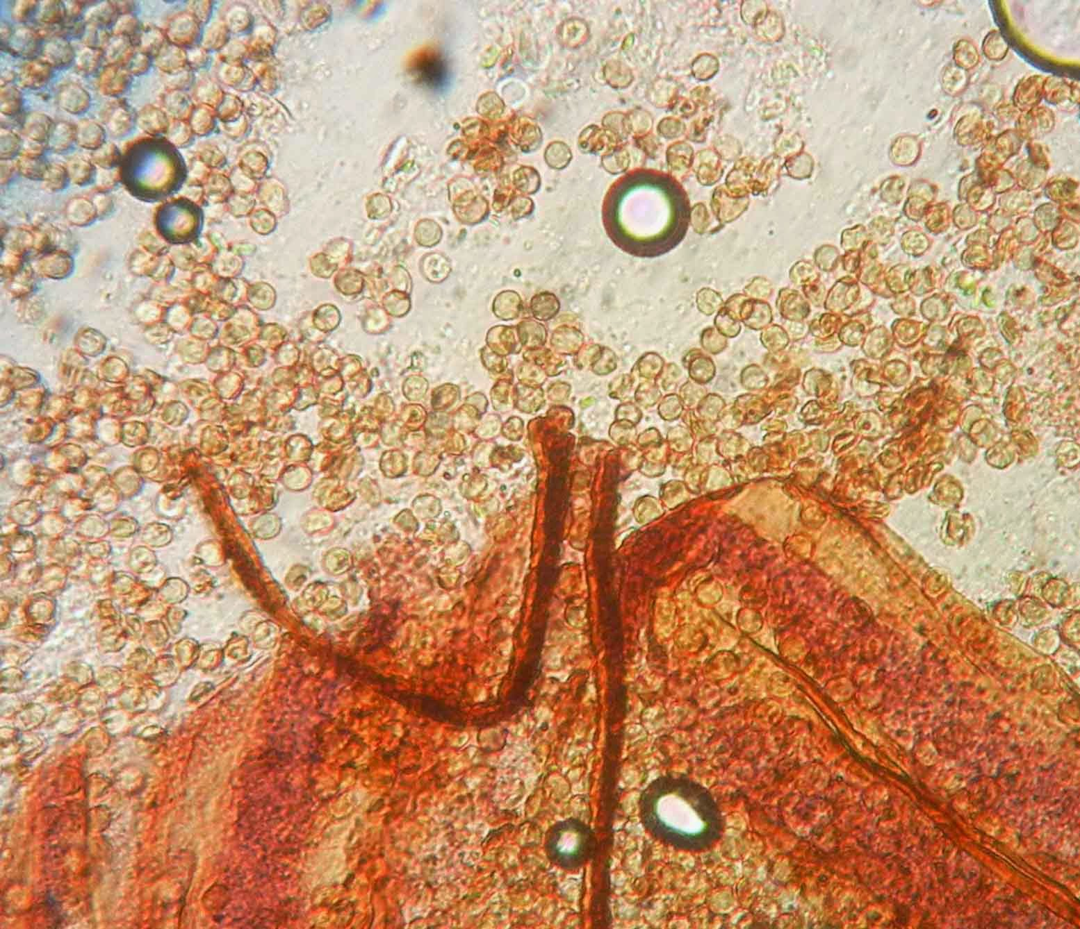 Cribraria cancellata spores and peridium