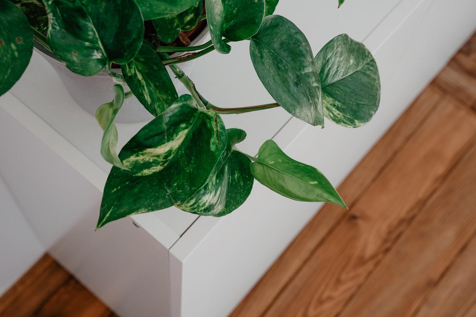 potos, planta, purificar aire, casa, hogar, decoracion, cuidado plantas, como cuidar una planta, como regar