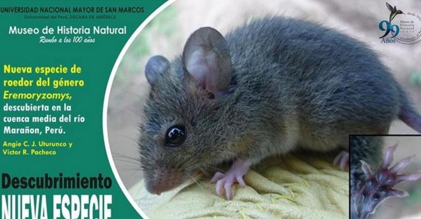 Reportan hallazgo de nueva especie de mamífero endémico para el Perú