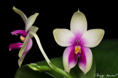 Phalaenopsis bellina care and culture