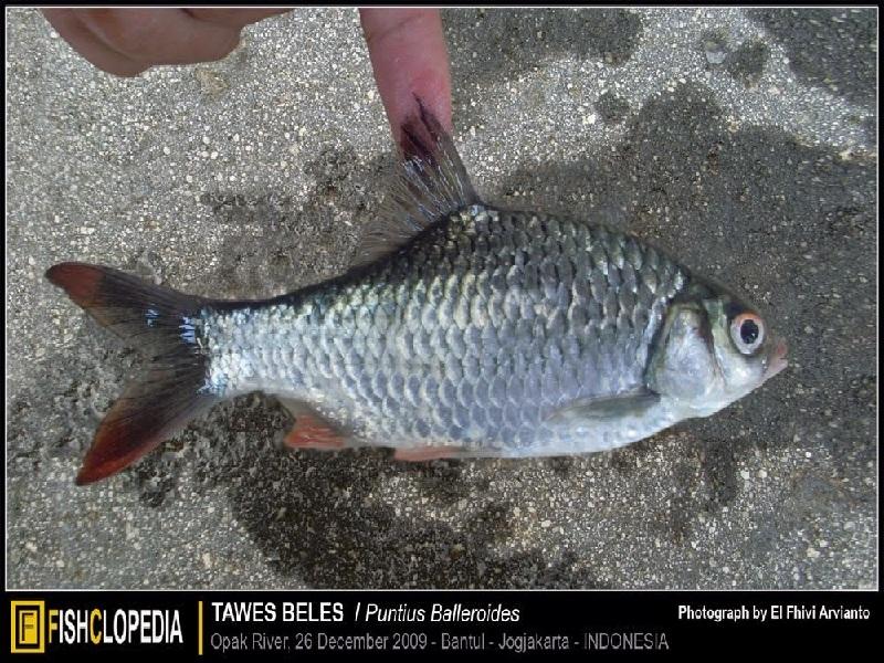 budidaya ikan tawes di kolam terpal