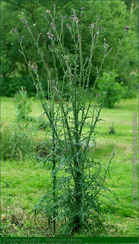 Cirsium palustre - Ostrożeń błotny pokrój