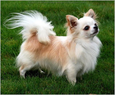 All About Dogs Images Long Haired Chihuahua Puppies For Sale